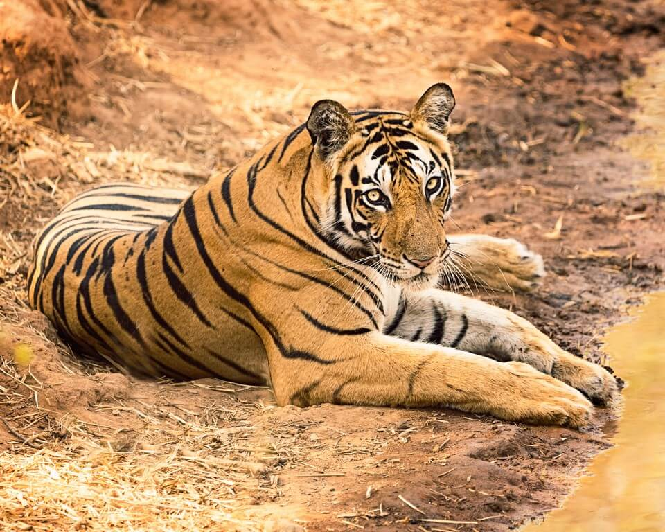 International Tiger Day - Pondering on India's role in tiger conservation  international tiger day - International Tiger Day Pondering on Indias role in tiger conservation 1 - International Tiger Day – Pondering on India's role in tiger conservation