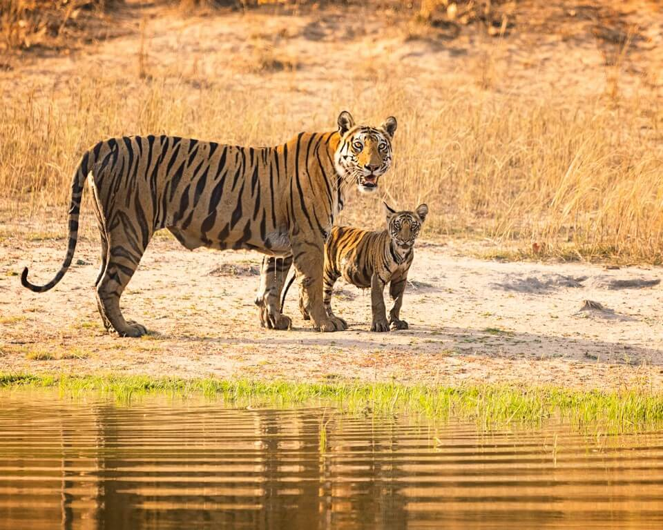International Tiger Day - Pondering on India's role in tiger conservation  international tiger day - International Tiger Day Pondering on Indias role in tiger conservation 2 - International Tiger Day – Pondering on India's role in tiger conservation