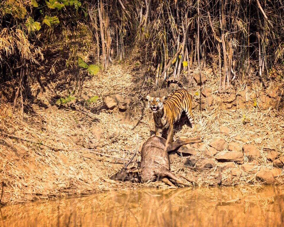 International Tiger Day - Pondering on India's role in tiger conservation  international tiger day - International Tiger Day Pondering on Indias role in tiger conservation 4 - International Tiger Day – Pondering on India's role in tiger conservation