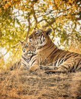 International Tiger Day - Pondering on India's role in tiger conservation