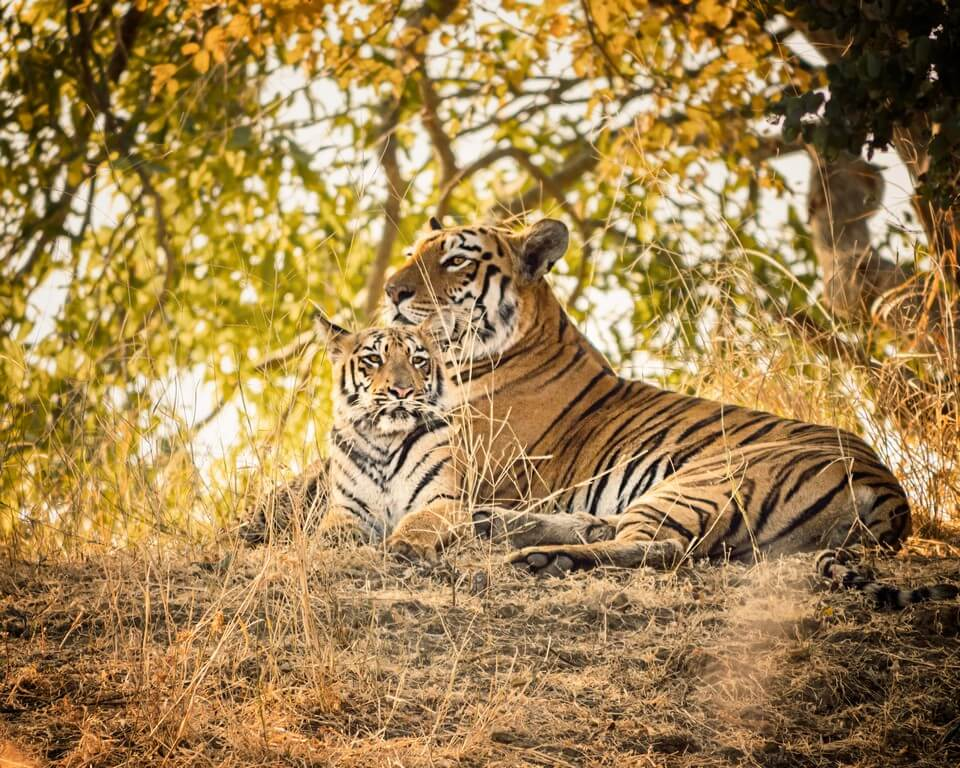 International Tiger Day - Pondering on India's role in tiger conservation international tiger day - International Tiger Day Pondering on Indias role in tiger conservation 5 - International Tiger Day – Pondering on India's role in tiger conservation